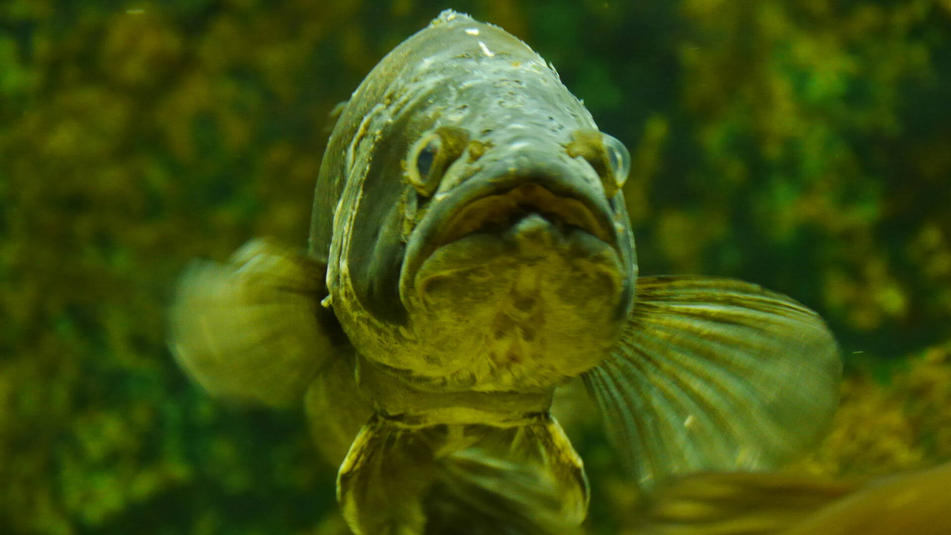 Black-bass dans aquarium de Pescalis @Pescalis